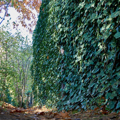 The fence is decorated with ordinary ivy Hedera Helix to a height of more than 3 meters. Original texture of natural greenery. Background from elegant leaves. Nature concept for design