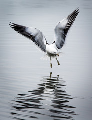 Flying kelp gull landing in Argentina, South America.