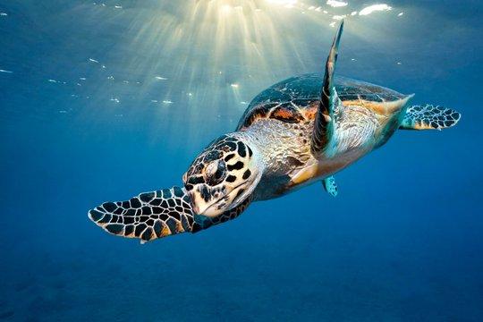 Loggerhead sea turtle (Caretta Caretta), sunlight under the ocean surface, Red Sea, Egypt, Africa