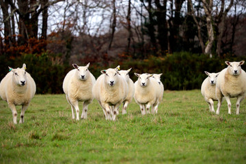 English sheep in field