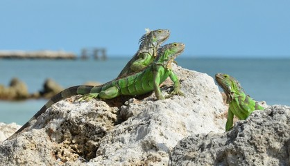 Iguana at the Florida Keys in winter time
