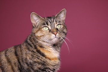 Cat in front of a pink background