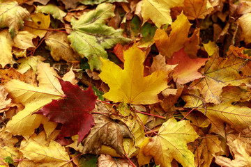 Fallen leaves covered the ground in autumnal forest. Thanksgiving day  background. Close-up of  colorful maple leaves on a sunny day.  Soft focus photography.