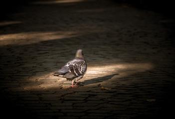 gołąb spacerujący w parku po drukowanej alei w blasku słońca