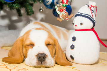 Beautifully beagle puppy under the Christmas tree