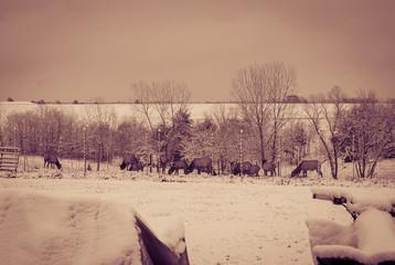 Deer Feeding at tree line of snowy field