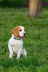 Beautiful beagle dog on the green grass
