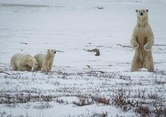 Printed roller blinds Polar bear Polar bear mother and 2 cubs, Churchill, Canada