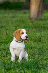 Beautiful beagle dog on the green grass