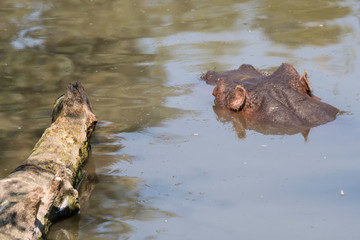 Hippo swimming in water.