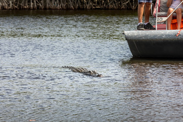 Alligator and a boat in the Everglades