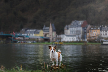 dog on the promenade in the city. Travel and rest with a pet. Jack Russell Terrier in nature.