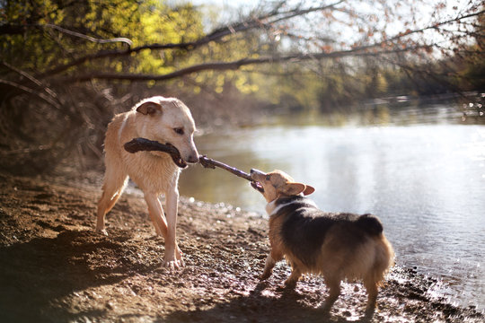 Dogs fighting for bark by lake