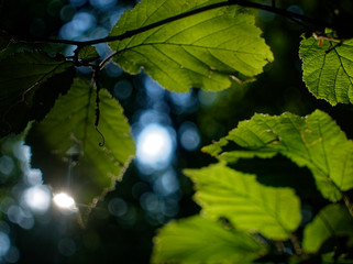 sunlight through the leaves of hazel in summer