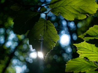 sunlight through the leaves of hazel in summer