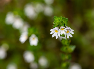 Beautiful little flower - Eyebright (Euphrasia officinalis). Photo taken in Ireland. Co Louth