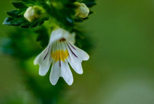 Beautiful little flower - Eyebright (Euphrasia officinalis). Photo taken in Ireland. Co Louth