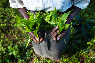 High angle view of person holding tea leaves