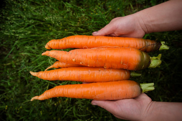 Cropped image of farm worker holding carrots at farm