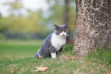 British short-haired cat playing on grass