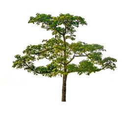 isolated deciduous tree on a white background, for use in architectural design or  work.