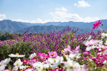 Amethyst sage and cosmos flowers in the garden ,Shikoku,Japan