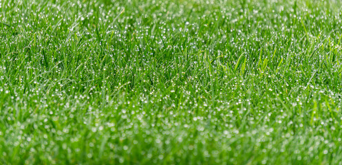 Fresh green grass with dew drops close up.