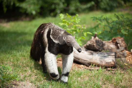 anteater went for a walk on a bright sunny day, wild life, a rare animal