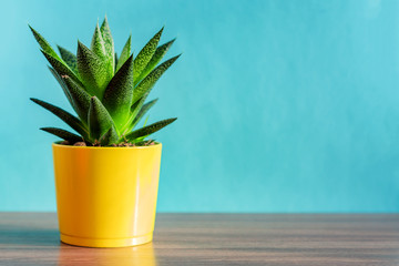 aloe vera plant in yellow ceramic pot on blue background. Domestic gardening, Copy space for text