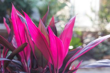Cordyline terminalis flower
