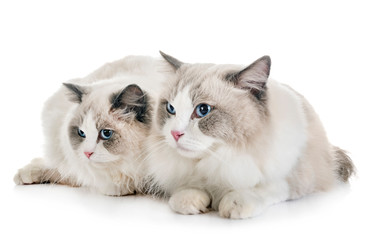 ragdoll cats in studio
