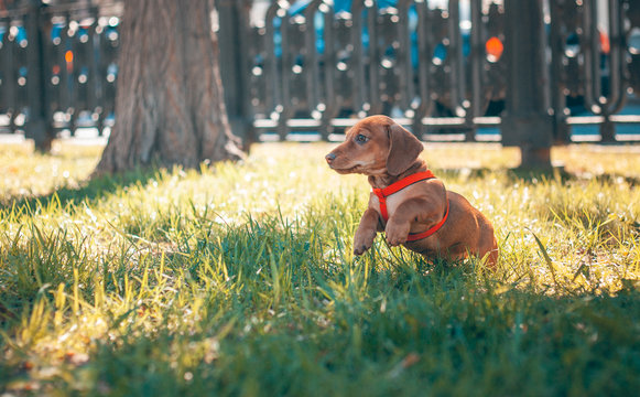 Dachshund puppy of brown color jumps in the green grass on the alley
