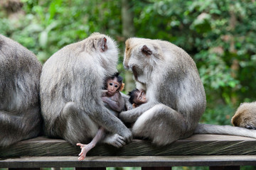 Monkey moms and their babies sit together.