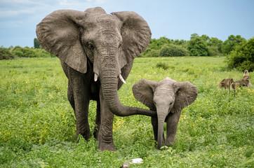 African elephants in Chobe National Park, Botswana