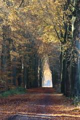 beech lane in the Netherlands nearby Dalfsen state Overijssel