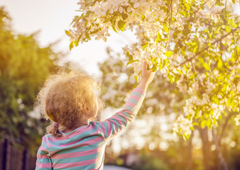 Fototapeta Selective focus on young blonde curly hair girl reaching out to a beautiful apple tree blossoms in spring outdoors, hope concept. Golden hour light. obraz