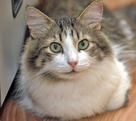 beautiful fluffy brown with white siberian cat