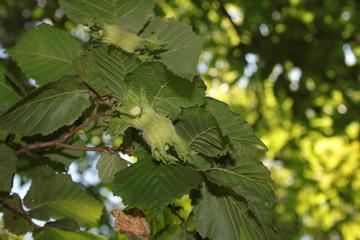 Nocciola su albero