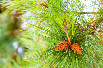 Close up of Pine tree and Pine cone