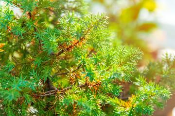 Close up of young Juniper tree