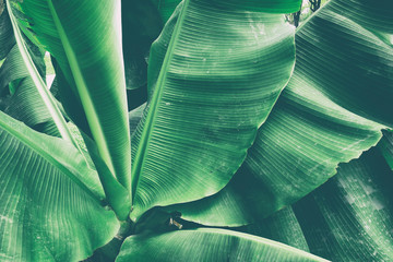 tropical banana palm leaf, toned process