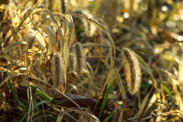 Drops of dew on the autumn fluffy grass spikelets