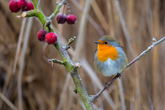 robin on a branch, slightly turned white by the frost in the Netherlands