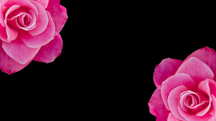 Two cropped pink roses banner or background with copy space, idea or concept for a romantic message, proposal, Valentine day, or seamless pattern for wallpaper or backdrop inspiration