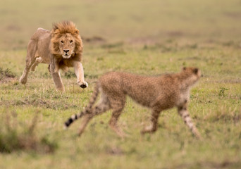 Male lion and cheetah in Masai Mara Gsme Reserve, Kenya