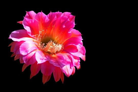 Flower from an Argentine Giant Cactus (Echinopsis candicans), in Sedona, Arizona, isolated on a black background.