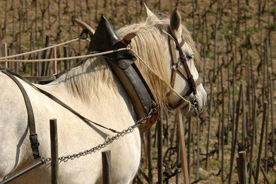 percheron attelé dans les vignes