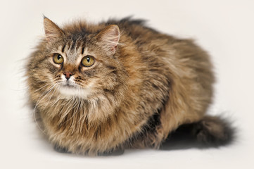 big beautiful fluffy brown cat on a white background