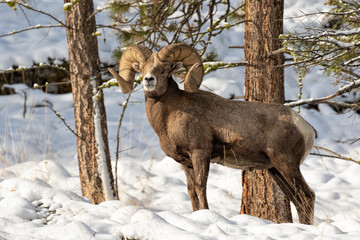 Bighorn Ram in the Snow (with grass)
