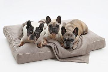 drei alte französische Bulldoggen liegen gemeinsam auf einem Hundesofa, Studioaufnahme mit weißem Hintergrund